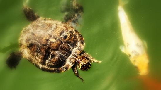 Tartarughe (schildpadden)